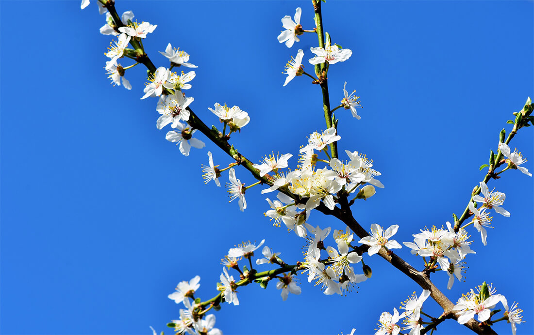 Themaroutes   Lentebloesem in Rivierenland